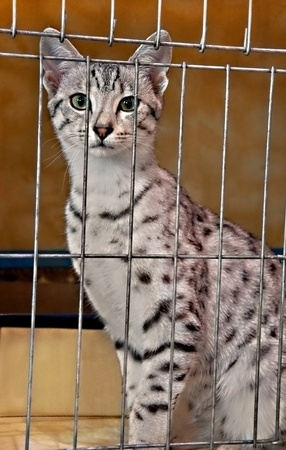 This vertical stock image shows a beautiful spotted Egyptian Maus feline cat in a cage.  Very striking animal. photo