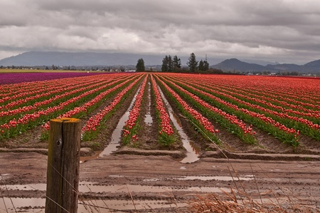 skagit: This agricultural image is a large tulip farm with rows of bi-colored tulips in a break of a spring storm.  Clouds loom dark and threatening with the rows having mud puddles in between.  There Stock Photo