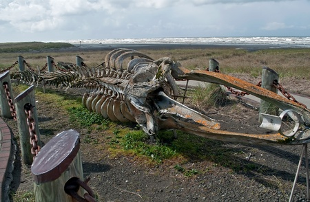 This very old skelton of a gray whale (Eschrichtis robustus) is located on Long Beach Washington, on Discovery trail, part of the Lewis and Clark expedition in 1805.  This is now a landmark attraction many people see every year. Stock Photo - 11540562