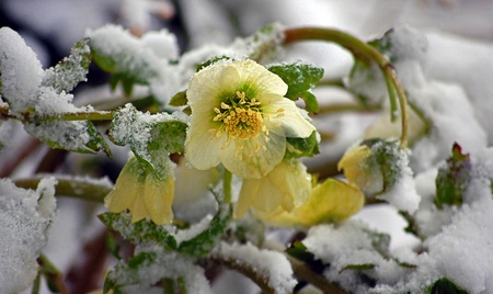 White hellebore flower, otherwise known as a Christmas Rose is blooming within the snow for an unusual floral photo. photo