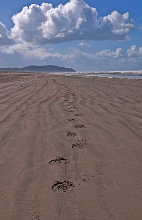 This seascape photo shows horse hoof prints walking into the mountain distance on a sandy beach in a vertical image.  Big puffy white clouds and blue sky make this a stunning scenic.  Shot at Long Beach Washington in Pacific County. Stock Photo - 11540539