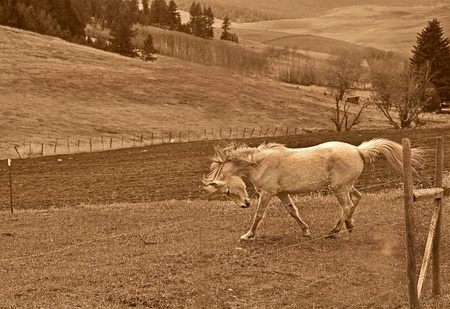 This beautiful rural scenic stock photo is a white horse running and stamping in a pasture.  This is set in a sepia toned image and is beautiful with his mane and tail blowing in the wind. photo