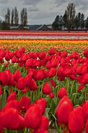 This large spring tulip field has many waves of different colored tulips, and a rural barn and popular trees in the background.  Set in vertical against a stormy day. photo