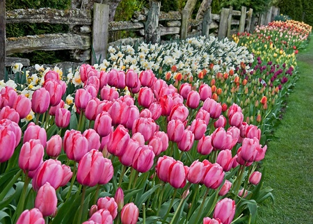 split rail: This image is a colorful spring floral in the foreground showing pink tulips, and many rows of other colored tulips and daffodils along a rustic split rail fence. Stock Photo