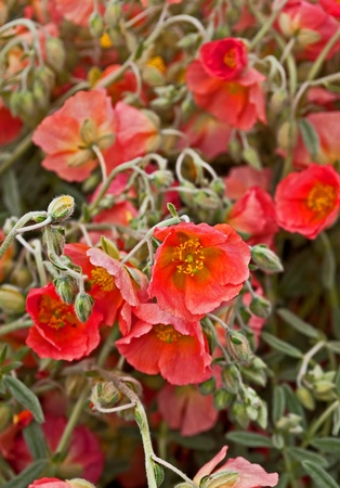 This vertical stock image is of apricot rockrose Helianthemum flowers.  They possess unusual shades of sage green foliage, and are an unusual garden plant.