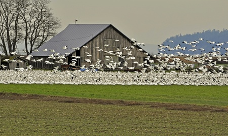 This is a large flock of many snow geese, both in flight and sitting on the ground in front of an old barn in a field. photo