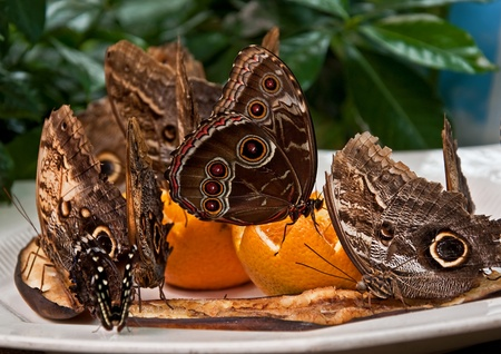 This exotic owl butterflies (Caligo Memnon) are feeding on fruits including oranges set on a plate.  Closeup of these insects from South America. photo