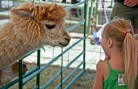 alpaca: ALBANY, OR - JULY 16:  Unidentified girl, age 6 of Albany meets an alpaca animal, up close and personal at Linn County Fair.  Large crowds were in attendance at the event, held on July 16, 2010 in Albany, Or.