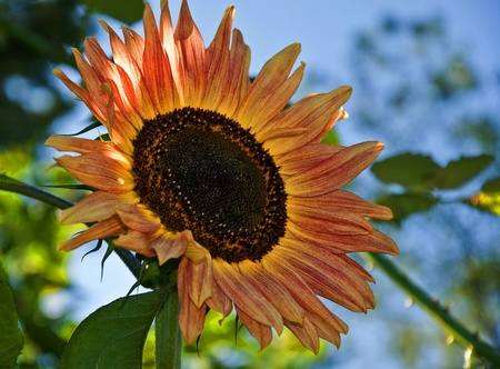 This stock image is a closeup of a peach and terra cotta colored sunflower, which is a very unusual hybrid.  The garden flower is backlit with background intentionally blurred.