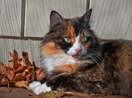 This pet cat is laying down outdoors on a porch with siding in the background and autumn leaves.  She is a long haired calico feline with striking green eyes and white boot feet.