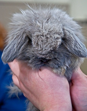 This tiny bunny is a smoke pearl American Fuzzy lop a gray blue colored baby rabbit, being held up close in a pair of hands. photo