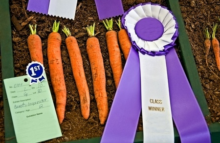 This horizontal stock image is of prize winning fresh Imperator carrots complete with both a purple ribbon and blue ribbon from a state fair. Banco de Imagens - 12047946