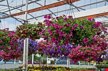 This greenhouse is filled with a row of hanging flower baskets, filled with mostly petunias and other annuals for beautiful home decor object.s Stock Photo