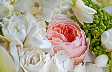 english rose: This old fashioned pink English rose is among a bouquet of white roses and other white petals for a soft floral stock image