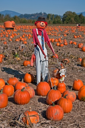 pumpkin patch: This vertical autumn season stock photo shows a scarecrow with a hat, in a fall pumpkin patch on a clear sunny day