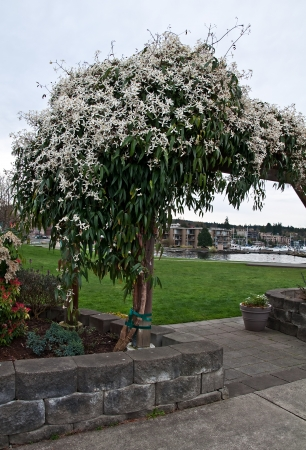 This huge white blooming flowers of bridal veil vine, otherwise known as Stephanotis, is growing on a lakeside trellis in a vertical image