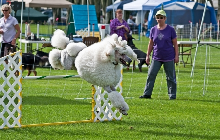 standard poodle: OAK HARBOR, WA - SEPTEMBER 16:  White poodle dog displays jump at dog agility show, which showcases a difficult obstacle course dogs must complete.   Held on September 16, 2010 in Oak Harbor, WA.