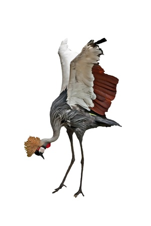 This African crowned crane bird is bending with its head down and wings out, isolated on white in a vertical formate image   Otherwise known as Balearica Pavonina  photo