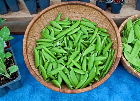 This stock image is a basket of fresh, organic sugar snap peas with other potted plants and more peas nearby on a blue tablecloth  photo