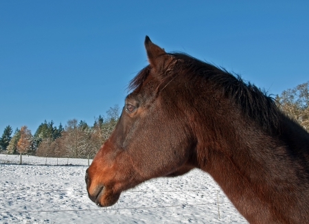 This stock image is a sorrel colored thoroughbred horse on a side view of his face and neck in the winter   Beautiful, crystal clear blue sky and freshly fallen white snow on the ground make this a striking equine image  photo