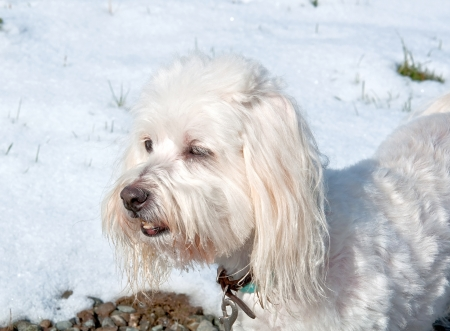 A small white dog of the breed coton de tulear is outside in the winter against the white snow, looking into the distance  photo