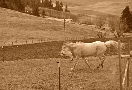 This beautiful rural scenic stock photo is a white horse running and stamping in a pasture   This is set in a sepia toned image and is beautiful with his mane and tail blowing in the wind  photo
