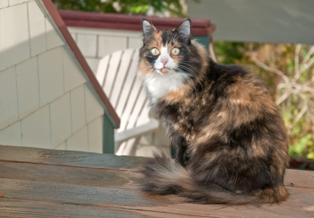 housecat: This beautiful calico housecat is sitting outside on a deck with it