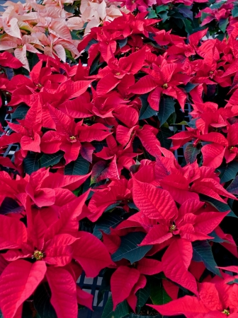 This vertical stock image is many red poinsettia plants, mostly red, but some peach colored ones in the back   This variety has black colored leaves, for a dramatic, festive holiday photo