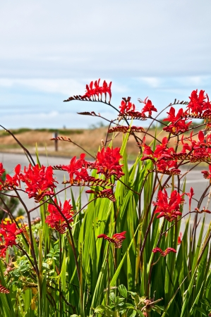 lucifer: This red flower is a perennial bulb called Crocosmia Lucifer Montbretia plant with dunes and ocean in the far distance   Vertical format with no people