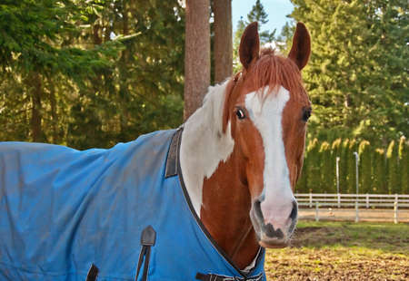 blanket horse: This beautiful horse is a brown and white colored paint.  Hes standing with a blue blanket cover on in a nature setting with trees in the background.