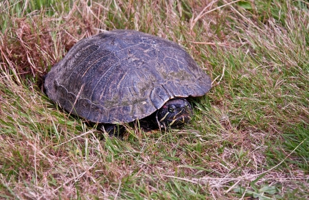 This painted turtle has dug a hole in the grass and is laying her eggs.  She has some mold growing on her shell from living in a pond.