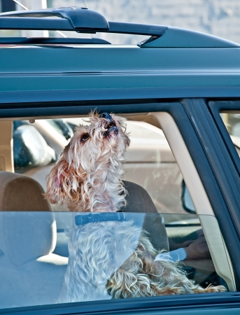 half breed: This small white pet dog with the window rolled half way down in a car, is howling with its nose high up in the air   Waiting for his master Stock Photo