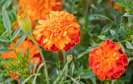 This macro stock image is of an orange and red marigold Tagetes erecta flower   This annual flower is cheery with buds and other blooms nearby that are intentionally blurred for artistic effect  Reklamní fotografie