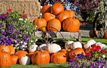 This is white and orange pumpkins in an autumn or fall still life display, with flowers, a rustic wagon wheel and bails of hay, perfect for a seasonal image  Stock Photo