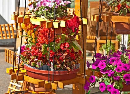 reds: These bright reds, orange and pink flowers are in various wooden containers on a stand   They are begonias, Celosia, Amaranthaceae, petunias, all bright summer annual bedding plants   Perfect color spots for a porch or garden