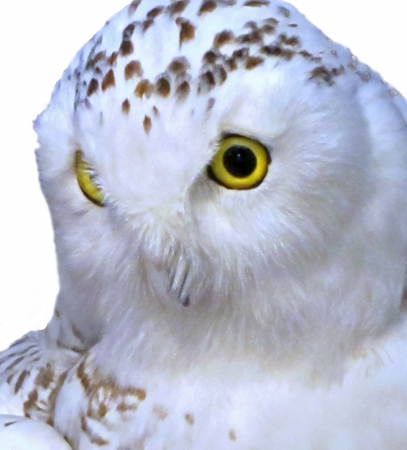 white owl: This closeup of a snowy white owl is isolated on a white background   It is in the family of owls known as Strigidae   It has striking yellow eyes