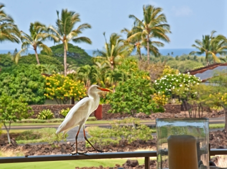 This white cattle egret bird, is walking on a porch or lanai in Hawaii   The foreground has a candle with the scenic tropics in the background  photo