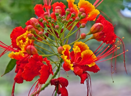 This stunning tropical flower in red and yellow from Hawaii is a Caesalpinia or Caesalpinia pulcherrima   Stunning with its sprays and unique shaped floral