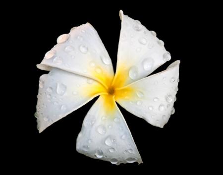 This gorgeous tropical flower of white plumeria or Frangipani