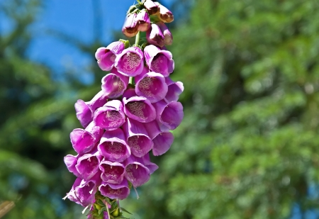 This pink foxglove flower digitalis is a wildflower with bell stock photo this pink foxglove flower digitalis is a wildflower with bell shaped flowers hanging from a main stalk mightylinksfo
