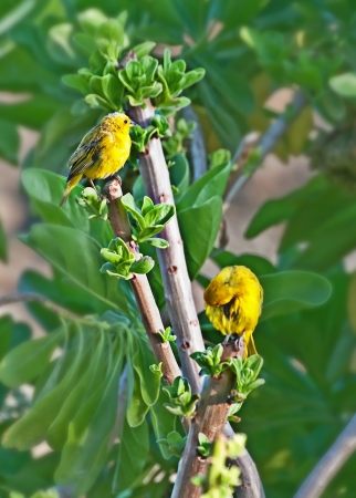 This wildlife image has two yellow songbird canaries in a tree, one is grooming itself   They are in a tropical tree