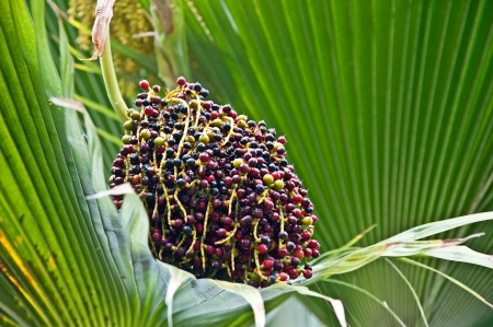 This is a a rare lolou palm tree with its cluster of multi colored berries   Other names are Pritchardia remota, and Fan Palm, but are a rare plant in the Hawaiian Islands