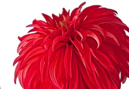 pompom: Questa immagine, natura, � un fiore dalia rossa che ha la forma di un pompon, � isolato su uno sfondo bianco