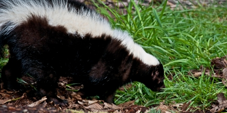 This closeup of a skunk animal, with its famous black and white fur, is walking and smelling some grass  Reklamní fotografie
