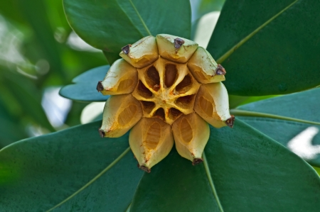 autograph: This tropical tree has its fruit split open while still on the tree   This star shaped cone is used for various decor projects   Other names for this tree include Autograph tree, Signature tree, and Clusia rosea  Stock Photo