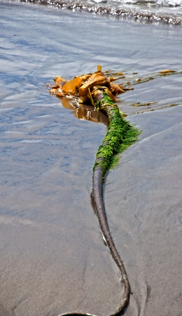 This nature image is a long, bulbous strand of seaweed, along with green seaweed attached, lying on the shore of a sandy beach  Banco de Imagens