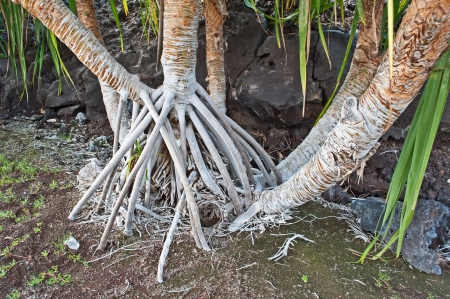 aerial roots: These are white aerial roots of Hawaiian trees called Hala trees   They grow above ground which makes them very interesting  Stock Photo