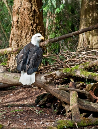 sitting on the ground: This bald eagle bird is sitting on branches low to the ground in the undergrowth area of a forest  Stock Photo