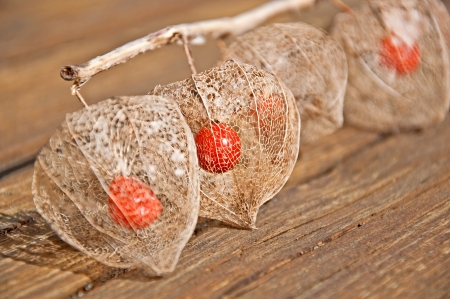 This unusual form of a Chinese lantern plant, is the skeleton of the plant, showing the seed pod inside after winter   This still life has an emphasis on the 2nd pod in the row