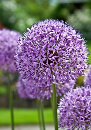 This is a large purple allium plant, in the garlic or onion family.  This variety is Purple Sensation, with its many small stars, making up its globe round shape.